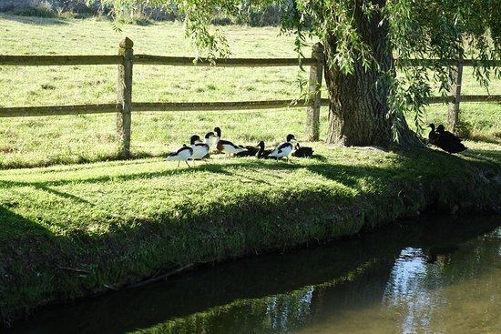 Ver-sur-Mer, França: Ducks on the stream