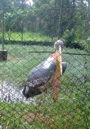 Assam State Zoo and Botanical Garden: Giant Stork