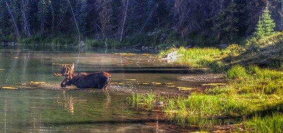 Lake City, CO: moose at deer lakes