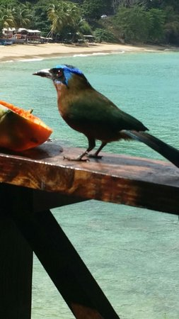 Castara, Tobago: He came for lunch too sometimes!