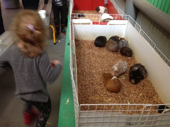 Henley Brook, Australia: We fed the Guinea pigs about 6 times 😀
