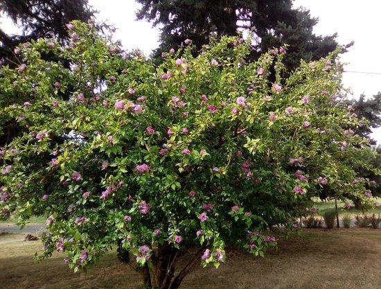 Saint-Avit-Senieur, Francia: L'hibiscus en fleurs