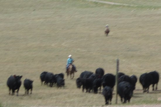 Martinsdale, MT: Moving cattle to new pasture.