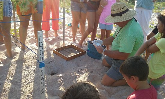 Island Cottage Oceanfront Inn & Spa - Flagler Beach: Sea turtle conservationists helping with the hatching , this was right across street from inn