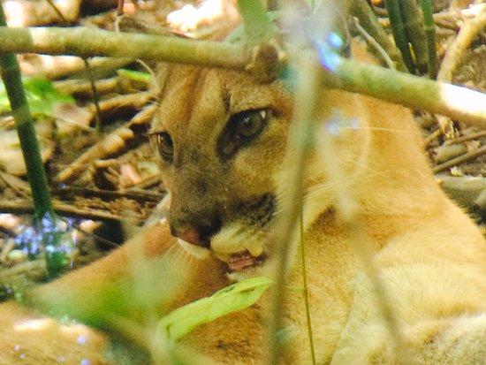 Puerto Jiménez, Costa Rica: Oso hormiguero  Puma