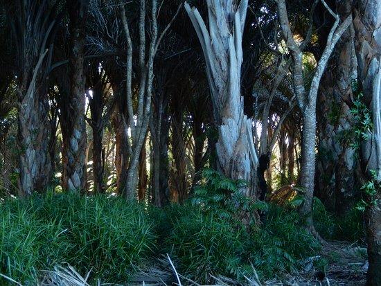 Maputaland Coastal Forest Reserve, Güney Afrika: Rafia Palms