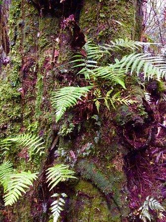Strahan, Αυστραλία: Rain Forrest plants.