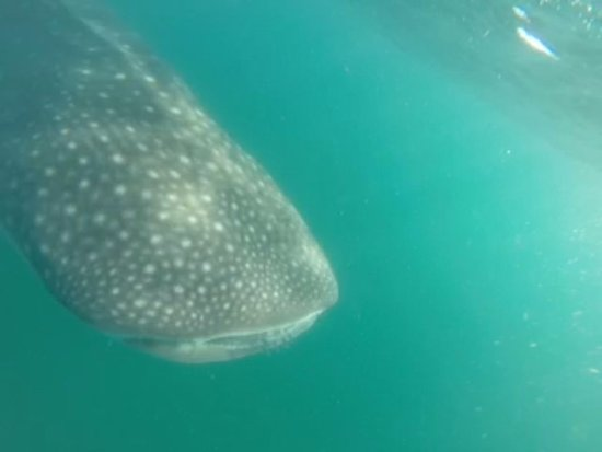 Tofo, Mocambique: One of many whalesharks