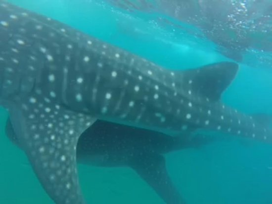 Tofo, Mocambique: Whalesharks over whalesharks