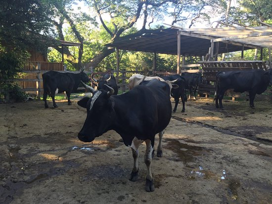 Hacienda Guachipelin: I loved the livestock