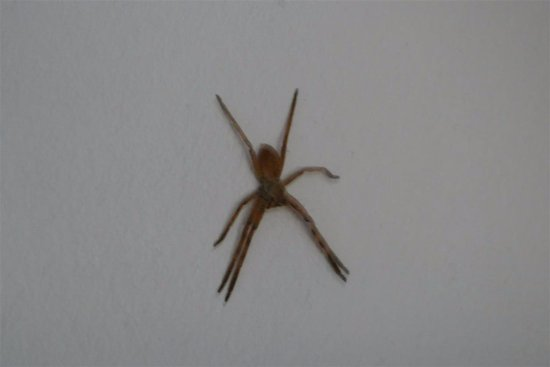 Rorke's Drift, Sudáfrica: Large Spider on bedroom wall
