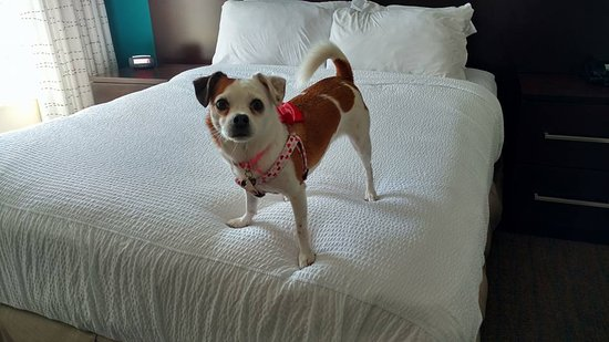 Residence Inn Richmond Northwest/Short Pump: The first thing my dog does after checking out is to test out the bed :-)
