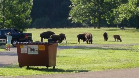 State Game Lodge: Must of been nearly 100 buffalo in this herd.