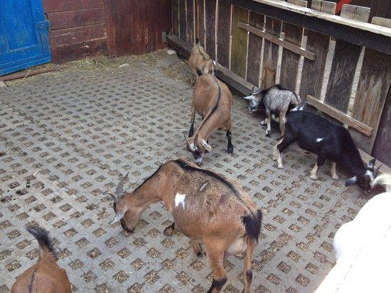 Kappel-Grafenhausen, Germania: Ziegen, der Boden ist sehr unangenehm für die Tiere