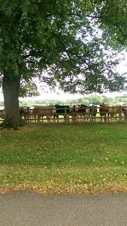 Little Horwood, UK: Munching Cows