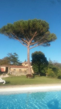 Monte Santa Maria Tiberina, Italia: Lama under a pine tree