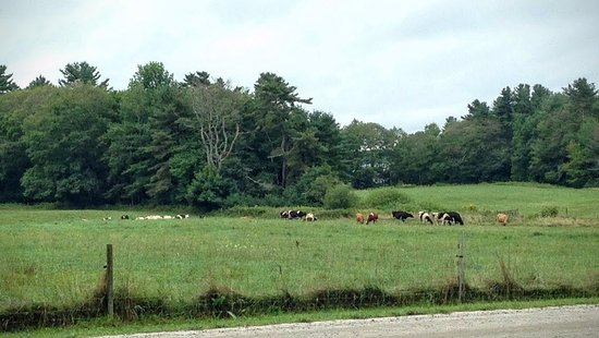 Recompence Shore Campground at Wolfe's Neck Farm: Camping with cows!