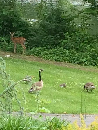 Kingsport, TN: White Tailed Deer and Canada Goose at take-out