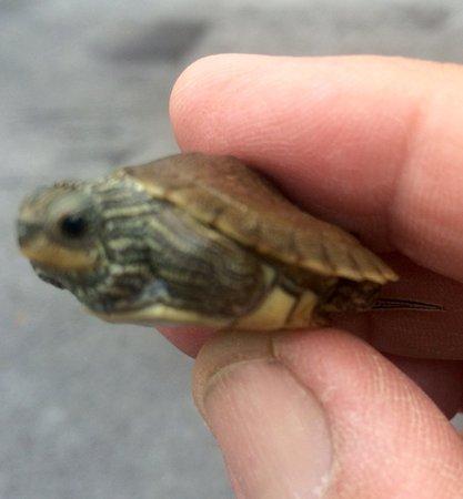 Kingsport, TN: Juvenile turtle