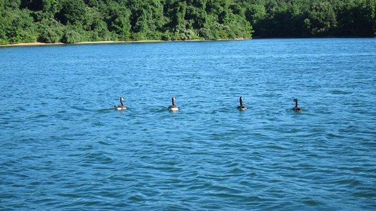 Hanover, Pennsylvanie : Geese