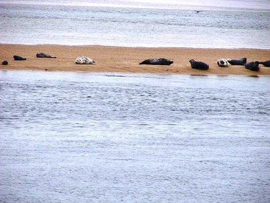Invergordon, UK: Harbour Seals at Loch Fleet