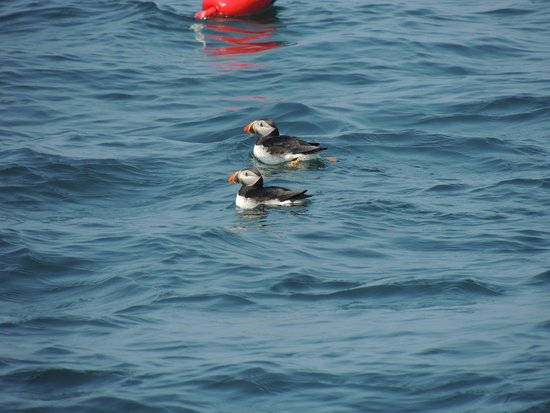 Port Clyde, ME: Puffins swimming alongside the boat