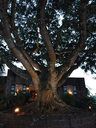Montpelier Plantation & Beach: Beautiful Ficus Tree at the entrance