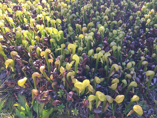 Florence, OR: pitcher plants a-pleanty
