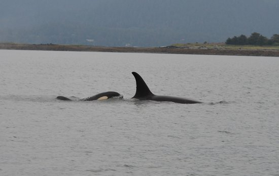 Harv and Marv's Outback Alaska: Baby orca whale and its mom