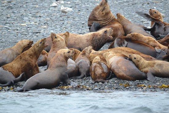 Harv and Marv's Outback Alaska: Noisy sea lions