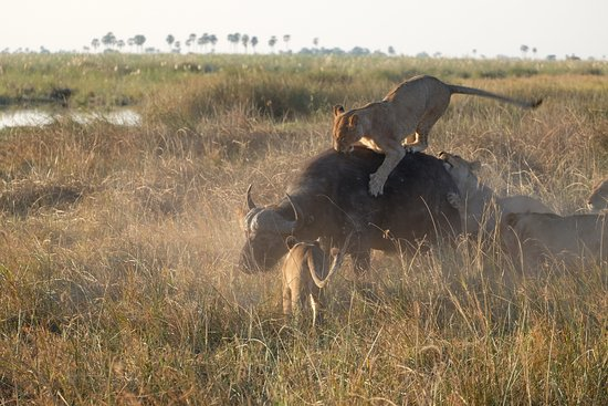 Wilderness Safaris DumaTau Camp: Pride of 13 lions killing a Buffalo