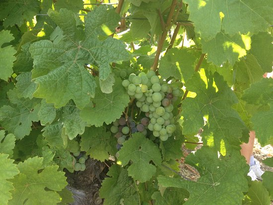 MJO Tours: Grapes on the vine