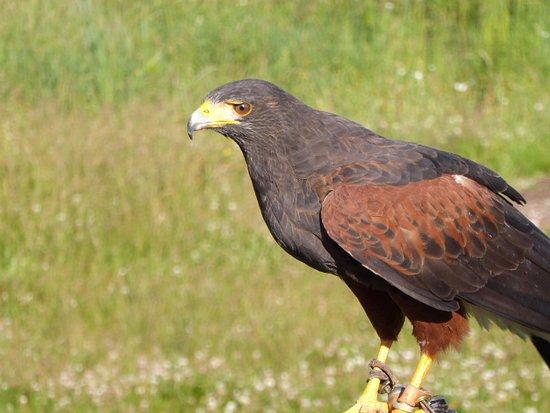 North Vancouver, Canadá: Harris hawk.