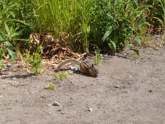 North Vancouver, Canadá: Chipmunk that wandered out of the grass.