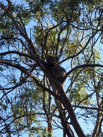 Cowes, Australia: Koala
