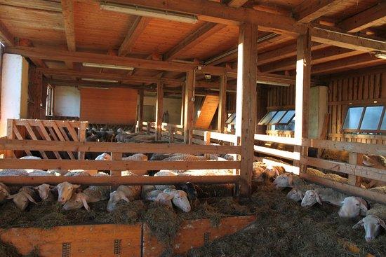 Waldhausen im Strudengau, Oostenrijk: Schafe