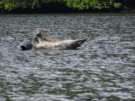 Port Hardy, Καναδάς: Seal on log