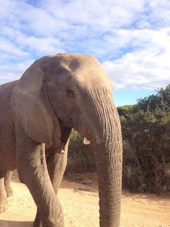 Addo Elephant National Park, Sudáfrica: Love these smart gentle giants. Amazing animals, South Afrcia is so fortunate to have them.