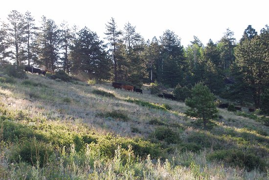 Elk Mountain Ranch: I was hiking to the abandoned mining site when a large herd of cows passed by