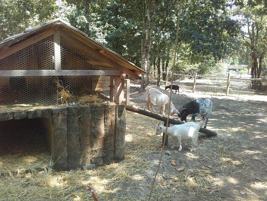 Le Grand Defi: Chèvres