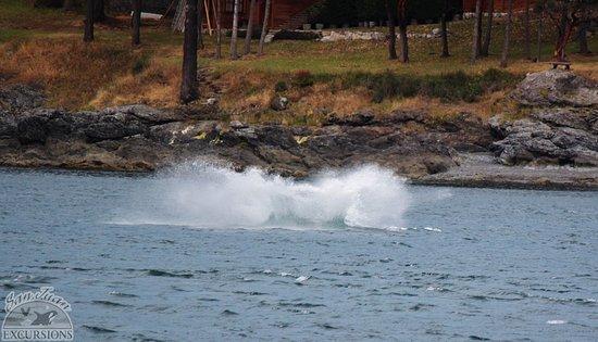 Friday Harbor, WA: Breach splash-down