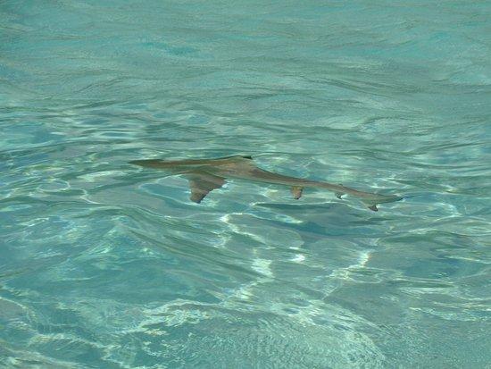 Moorea, French Polynesia: SHARK!
