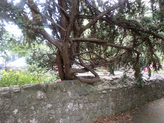 Celtic Park and Gardens: Very old tree holding onto the wall!