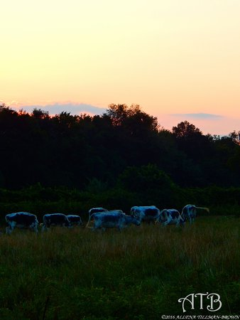 North Stonington, CT : Cows at sunset