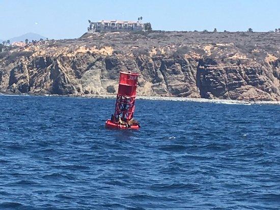 Dana Point, Kalifornia: Sea Lions on a bouy
