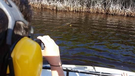 Speedy's Airboat Tours: You can see an alligator in the water if you enlarge the photo.