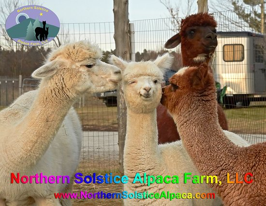 Alpaca Love Picture Of Northern Solstice Alpaca Farm Unity Tripadvisor