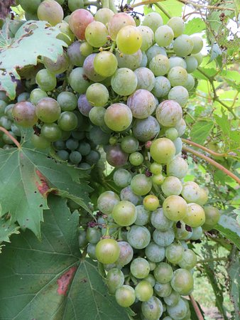Bloomfield, KY : Plump grapes in the vineyard behind the plantation.