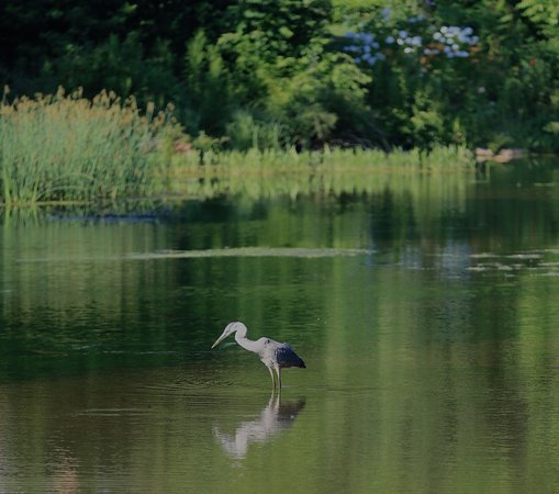 Eddington House Inn: Heron fishing in North Bennington