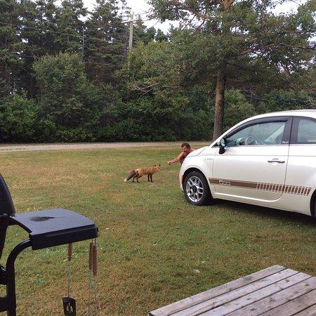 Stanhope, Canada: Les renards sont gentils
